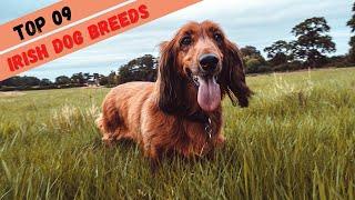 TOP 9 Irish Dog Breeds  Best Irish Dog Breeds  Irish Dogs Breed Video  Ireland Most Popular Dogs