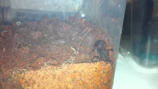 Atta Ant !! Leafcutter ant queen !! Tanajura !
