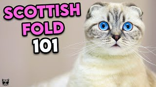Scottish Fold Cat 101  Must Watch Before Getting One | Cat Breeds 101