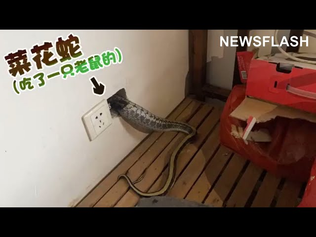 Chubby Snake Gets Stuck In Plug Socket After Devouring Rodent