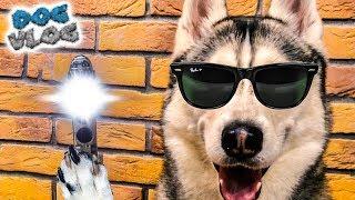 DOGVLOG: Я СОТРУ ВАШУ ПАМЯТЬ! Хаски Бандит. Говорящая собака