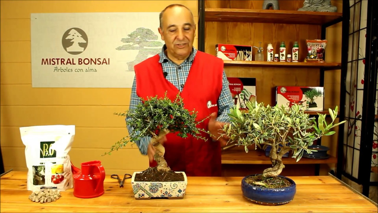 Cuidados Y Consejos Bonsai Olea Mistral Bonsai Youtube