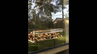 Yellow Beak Window Bird Feeder Review Part Two