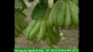 Kỹ thuật trồng cây phật thủ siêu hiệu quả ở trang trại lớn nhất Hà Nội