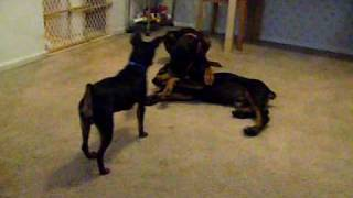 My doberman puppies first night at home - Meet the others