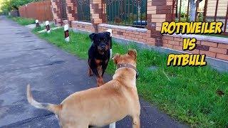 Cuando Perros Poderosos se Encuentra | When Powerful Dogs Meet