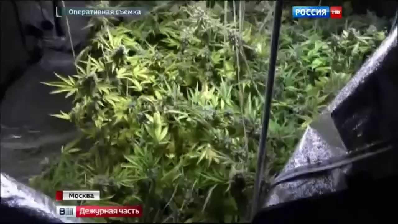 Москве в достать марихуану сажать коноплю как