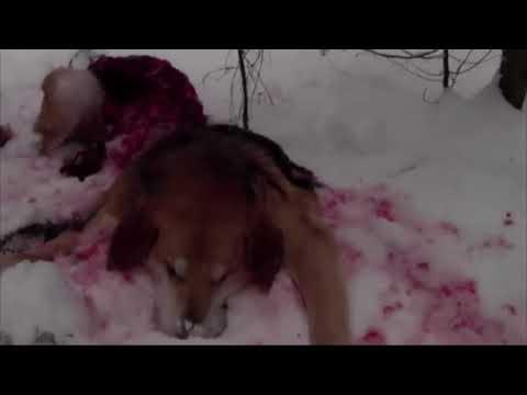 волк снял с гона собаку