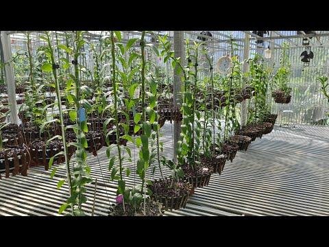 Cách chăm sóc cây cho ki,cho hoa mùa 2021, sử lý côn trùng ăn rễ làm hại cây. chăm béo cây siêu đẹp   Foci