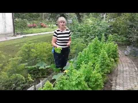 Салат на семена,лук суворова.