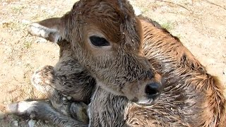 Newborn calf dumped still wet with afterbirth rescued