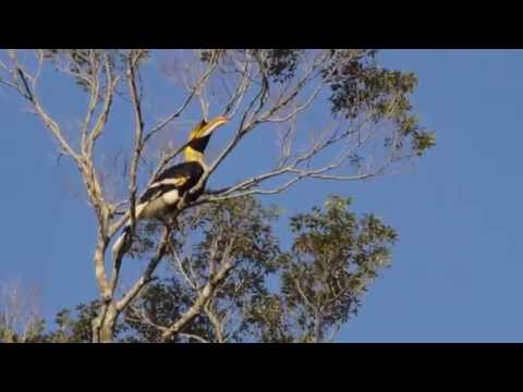 What does a great hornbill sound like?