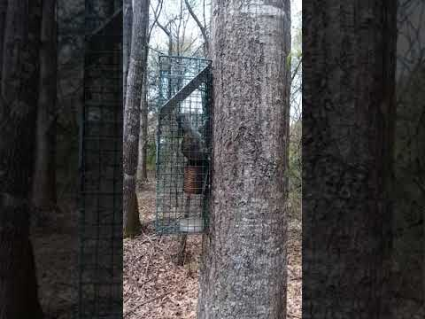 squirrel trapping and training