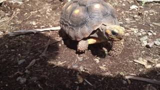 Red foot tortoise sniffing and walking