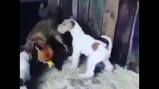 Собаки кидаются на лису