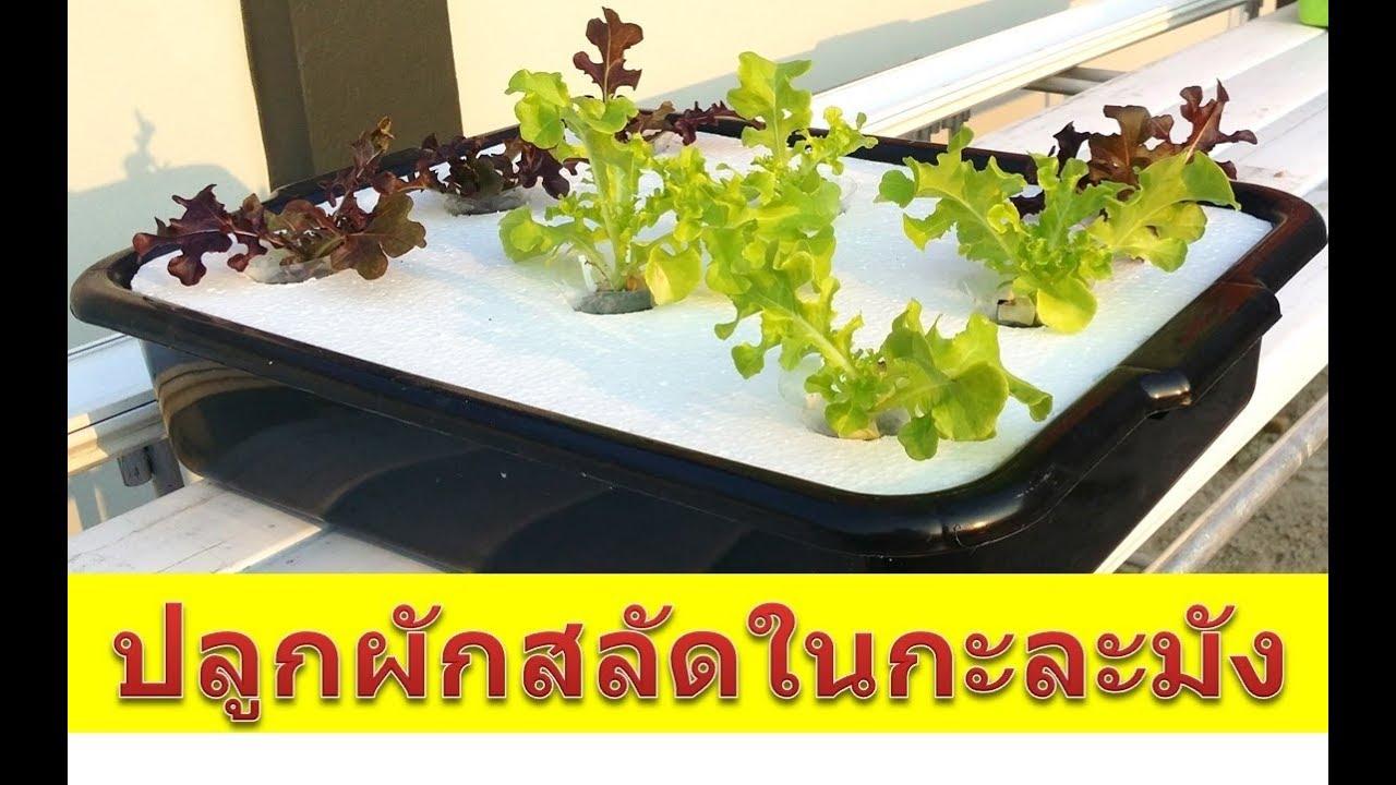 #ปลูกผักสลัดในกะละมัง ง่ายๆ งบไม่ถึง 100 บาท  #Hydroponic