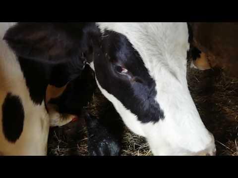 Корова, животное доброе, но не предсказуемое