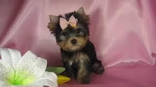 Продажа йоркширский терьер девочка - Мини собачки