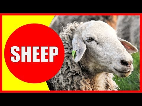 SHEEP VIDEOS FOR KIDS - Facts about Sheep for Children, Preschoolers and Kindergarten