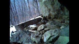 """Дальневосточный лесной кот в заповеднике """"Кедровая Падь"""""""