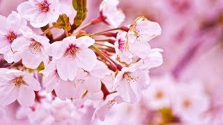 やっぱり これ歌いたかったので 桜いっぱーい(笑) お肌が荒れている.