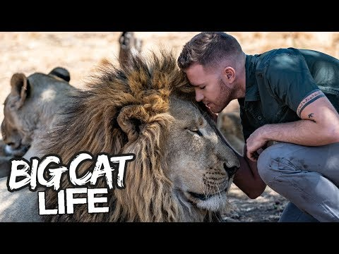 Daring Ranger Spends A Day With 5 Lions   BIG CAT LIFE