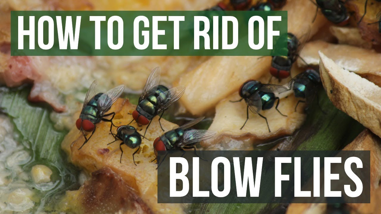 How To Get Rid Of Blow Flies 4 Easy Steps Youtube