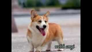 Welsh Corgi Puppies For Sale In Pa.