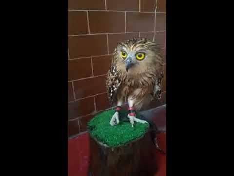 Buffy Fish Owl Screaming (Calling) / Suara Burung Hantu