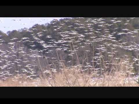 Blackwater National Wildlife Refuge MD.wmv
