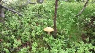 Северные грибочки