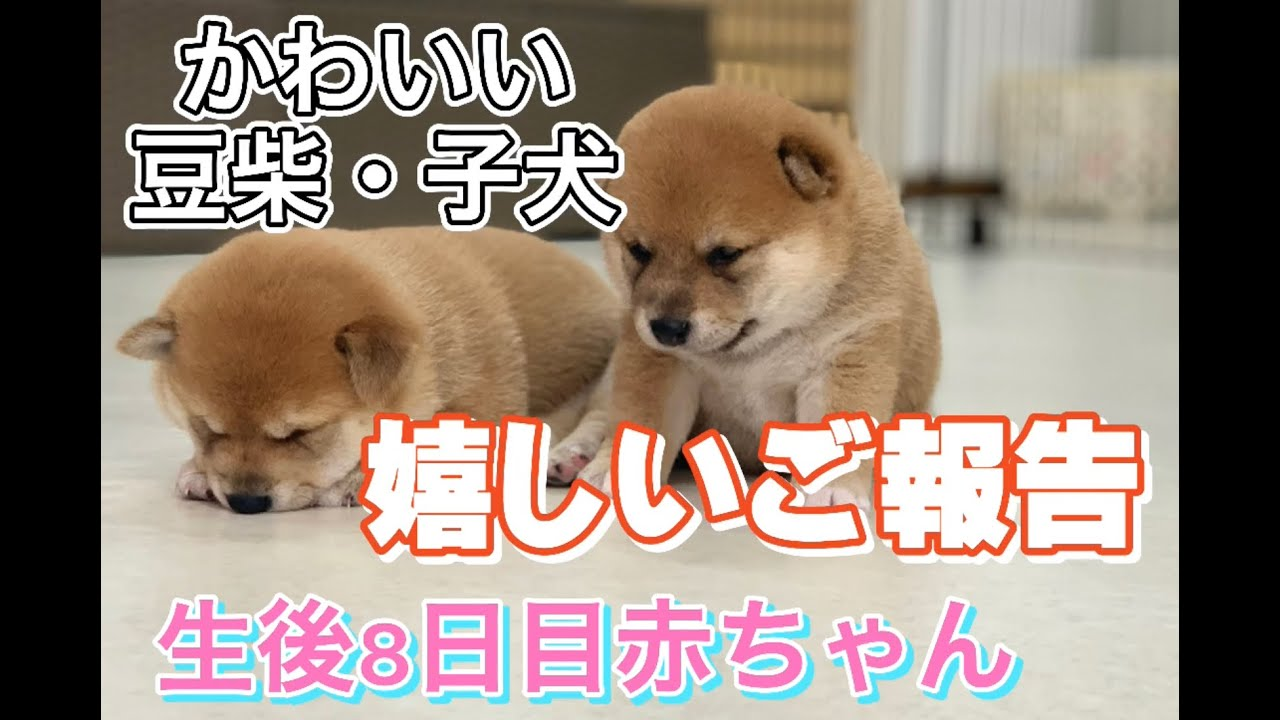 嬉しいご報告があります!!❤︎【豆柴・柴犬・子犬】Mameshibainu Puppies!!