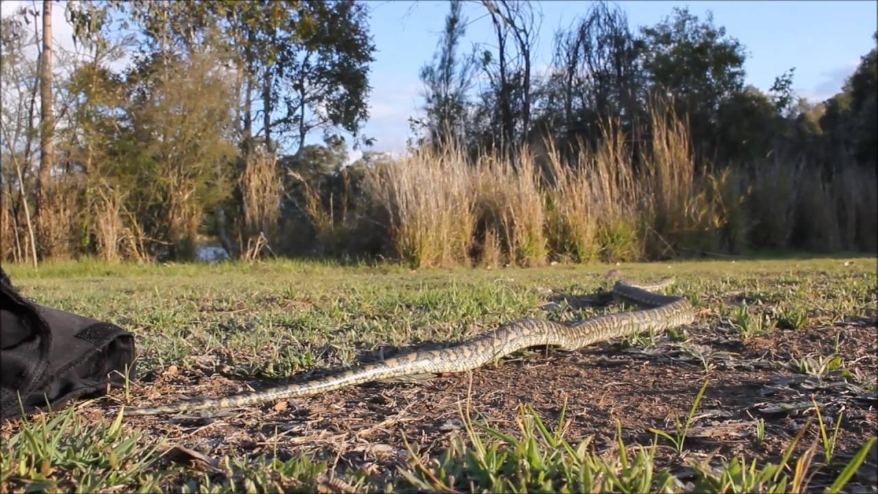 springtime carpet python release video september 2016 snake out