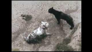 Коты деруться в грязной луже / Cats fighting in a muddy puddle