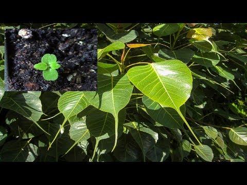 Фикус.  Фикус из семян как вырастить?
