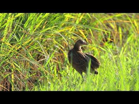นกอีลุ้ม / Watercock / Gallicrex cinerea