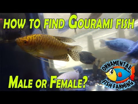 How To Find Gourami Fish Male Or Female - Fish Room Tour  Beautiful Tropical Fish