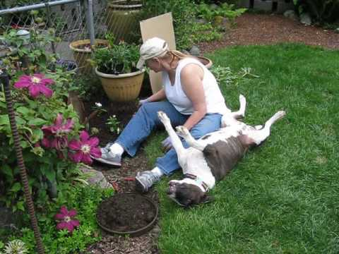 Gardening with Natalie the English Bull Terrier