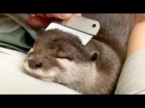 Spoiled Otter from YouTube · Duration:  3 minutes 21 seconds