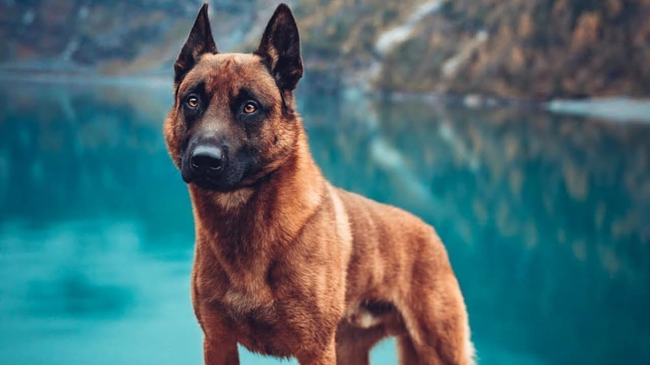 Malinois best dog for military service. Animal story