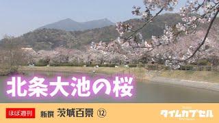 茨城の桜の名所を巡るシリーズ3回目は。つくば市北条にある「北条大池の...