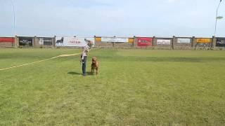 Собака в городе - 2, бордоский дог Молли (почти 3 года), оценка -84 балла - хорошо, Часть2