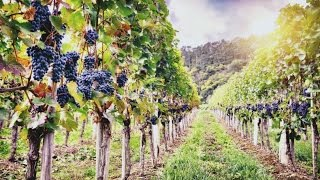 Grape Seed Extract and Testosterone: Potent Aromatase Enzyme Inhibitor and Blood Flow Enhancer