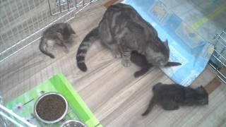 Котята Скоттиш фолд и страйт с мамочкой: 4,5 недели (3)