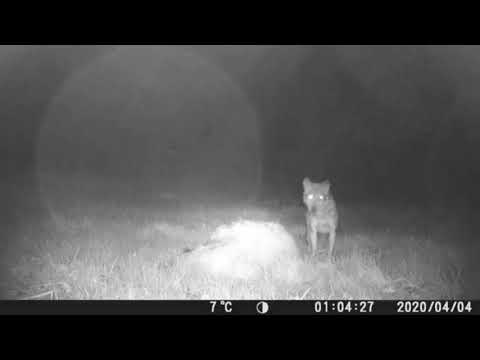 Un lobo se alimenta de una oveja en Forzáns a 50 metros de las viviendas