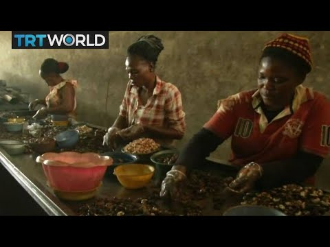 Ivory Coast Cashew Nuts: Farmers struggle as world prices drop