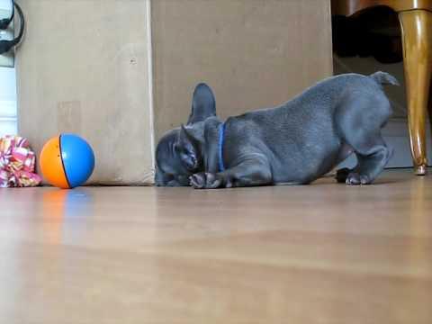 Piggy The Blue French Bulldog Puppy 4 Youtube