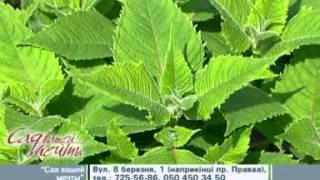 видео Декоративные и лекарственные растения на участке. Барбарис:посадка, уход и защита от вредителей