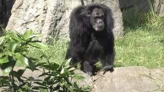 チンパンジー (千葉市動物公園)