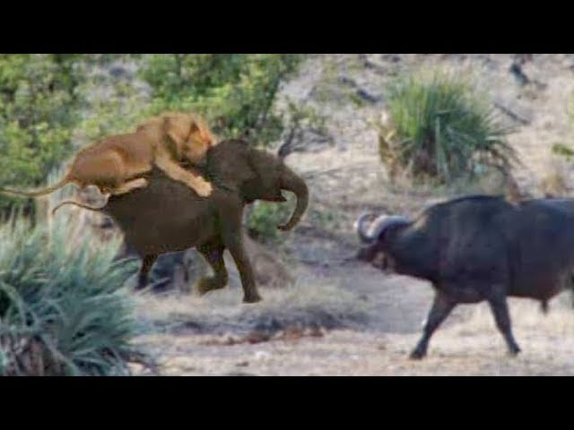 Buffaloes Rescue Baby Elephant from Lions